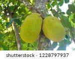 jackfruit on tree. tropical... | Shutterstock . vector #1228797937
