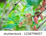 mulberry on tree.  tropical... | Shutterstock . vector #1228798057