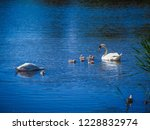 swans and their babies swimming ...   Shutterstock . vector #1228832974