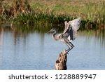 Beautiful Great Blue Heron In...