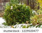 The Green Bush Of Boxwood With...