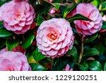 camellia japonica var. otome  ... | Shutterstock . vector #1229120251