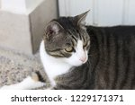 isolated european cat with an... | Shutterstock . vector #1229171371