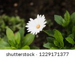 white african daisy without two ... | Shutterstock . vector #1229171377