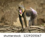 male african baboon monkey with ... | Shutterstock . vector #1229205067