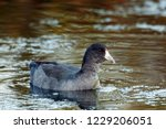 An American Coot Placidly Rests ...