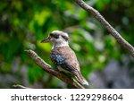 kookaburra bird perched on tree ... | Shutterstock . vector #1229298604