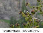 Small photo of Clark's nutcracker (Nucifraga columbiana) in Whitebark pine (Pinus albicaluis), East Rim Road, Sentinal Rock turnout, Crater Lake National Park, Oregon, USA