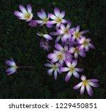starburst purple  white  yellow ... | Shutterstock . vector #1229450851