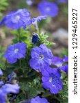 blue flowers in the garden. | Shutterstock . vector #1229465227