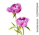 watercolor drawing pink peony... | Shutterstock . vector #1229492644