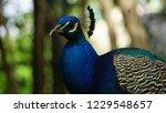 elegant peacock in a park in...   Shutterstock . vector #1229548657