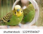 Green Budgerigar Parrot Close...