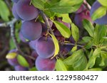 Many Ripe Plums Hanging From...