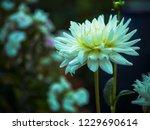 gorgeous flower of white dahlia ... | Shutterstock . vector #1229690614