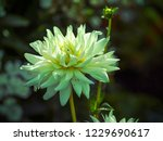 gorgeous flower of white dahlia ... | Shutterstock . vector #1229690617