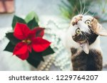 Stock photo cat with poinsettia cozy christmas background funny pet picture 1229764207