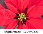 Close up of Red  poinsettia, Christmas flower. selective focus - stock photo