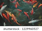 Golden Carps And Koi Fishes In...