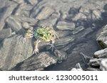 green frog in pond.             ... | Shutterstock . vector #1230005011