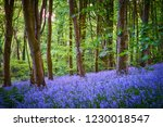 Carpets Of Bluebells In...