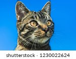 the head of a tabby cat... | Shutterstock . vector #1230022624