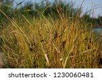 reeds on the river bank. marsh...   Shutterstock . vector #1230060481