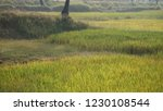 green rice field in india  | Shutterstock . vector #1230108544