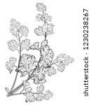 fresh hand drawn coriander herb ... | Shutterstock .eps vector #1230238267