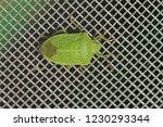 green shield bug or stink bug... | Shutterstock . vector #1230293344