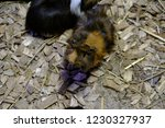 the snout of the guinea pig... | Shutterstock . vector #1230327937