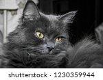 gray fluffy cat lying on the... | Shutterstock . vector #1230359944