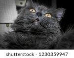 gray fluffy cat lying on the... | Shutterstock . vector #1230359947