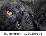 gray fluffy cat lying on the... | Shutterstock . vector #1230359971