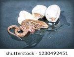 little sand lizards hatching... | Shutterstock . vector #1230492451