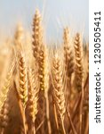 wheat in the farm | Shutterstock . vector #1230505411