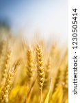 wheat in the farm | Shutterstock . vector #1230505414