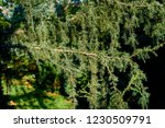 thorny little green needles on... | Shutterstock . vector #1230509791