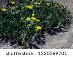 flowering cacti in the forests... | Shutterstock . vector #1230569701