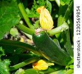 marrows growing in garden | Shutterstock . vector #1230569854