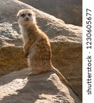 suricata standing on rock | Shutterstock . vector #1230605677