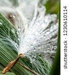 Closeup Of Milkweed Seed And...