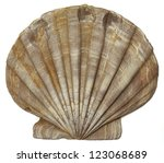 Fossil Shell Chesapecten...