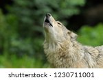 Howling Gray Wolf  Canis Lupus  ...