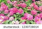 beautiful pink flowers blooming ... | Shutterstock . vector #1230728014
