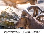 side view closeup brown barbary ... | Shutterstock . vector #1230735484