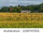 swarm of red winged songbirds... | Shutterstock . vector #1230747031