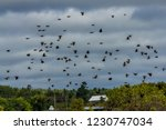 swarm of red winged songbirds... | Shutterstock . vector #1230747034