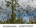 swarm of red winged songbirds... | Shutterstock . vector #1230747037
