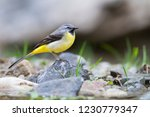 adult male grey wagtail ... | Shutterstock . vector #1230779347